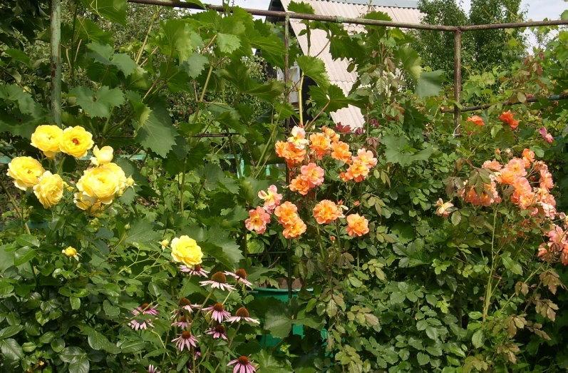 Вертикальное озеленение сада плетистыми розами в паре с виноградом