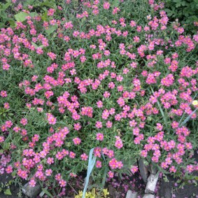 растения для альпийской горки фото декора