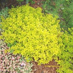 растения для альпийской горки фото виды