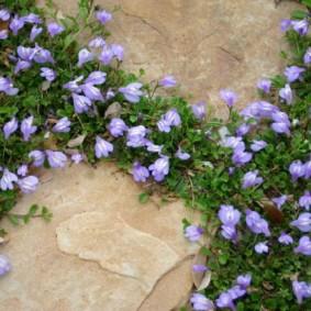 растения для альпийской горки фото обзор