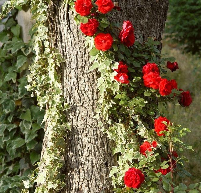 Ветки плетистой розы на погибшем дереве