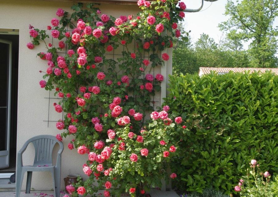 Крупноцветковая плетистая роза на решетке у стены