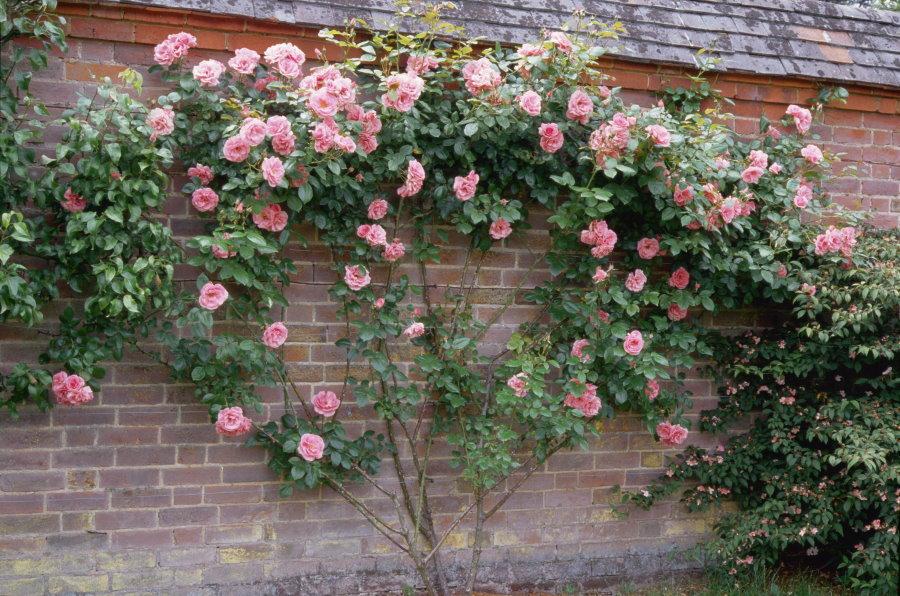 Плетистая роза в форме веера у кирпичной стены сарая