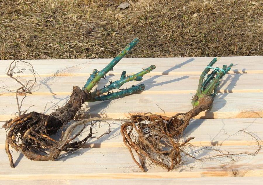 Саженцы плетистых роз с хорошо развитой корневой системой