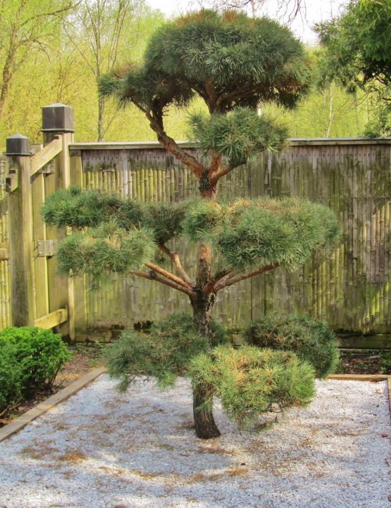 Садовый бонсай из обыкновенной сосны своими руками