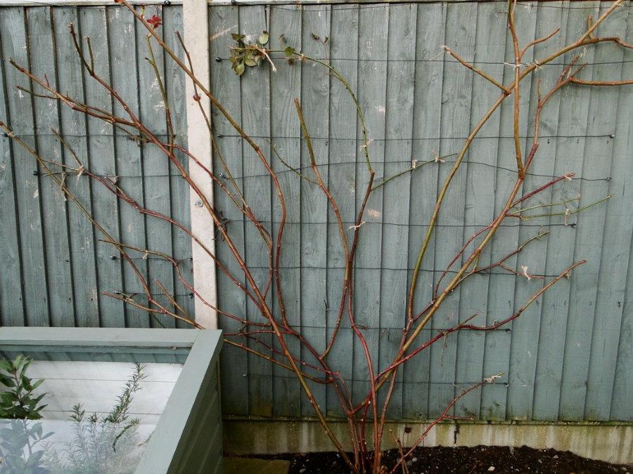 Подвязка стеблей плетистой розы в виде веера на заборе