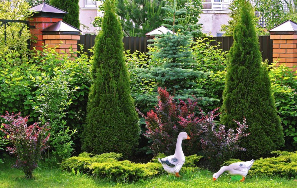 туя в саду