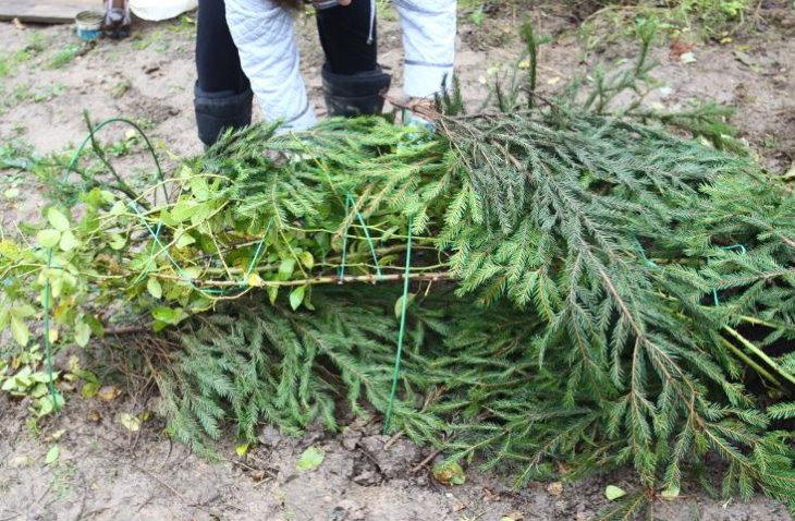 Укрытие плетистых роз в зиму еловым лапником