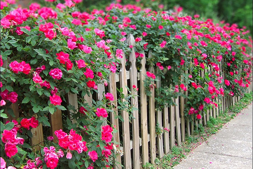розы вдоль забора