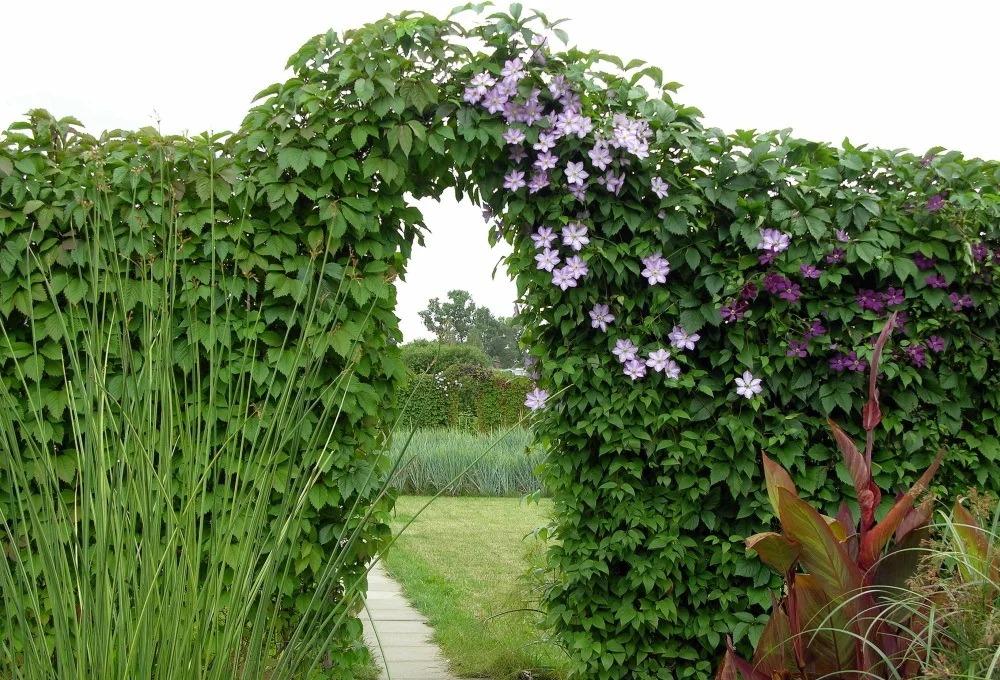 лианы в саду