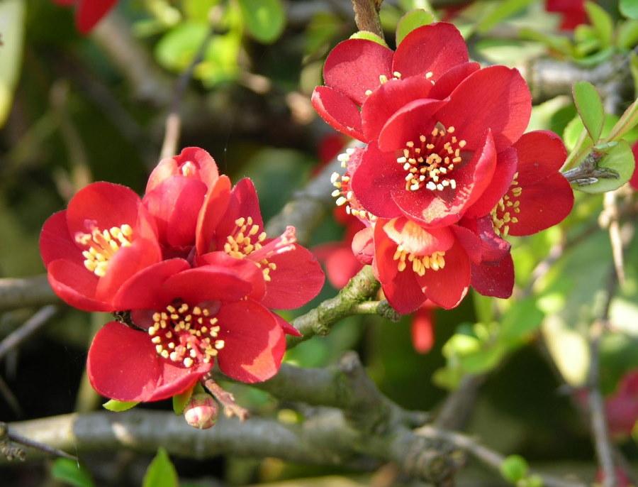 Желтые тычинки внутри красного цветка айвы сорта Crimson and Gold