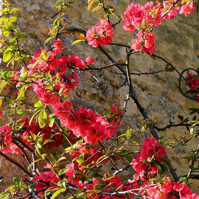 Длинные ветки с цветками на Хеномелесе катаянском