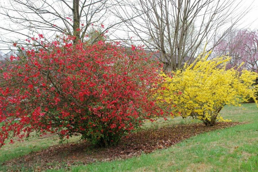Цветение рослого куста японской айвы