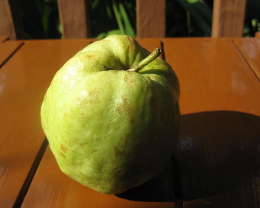 Зеленый плод с ребристой поверхностью айвы Зубутлинской