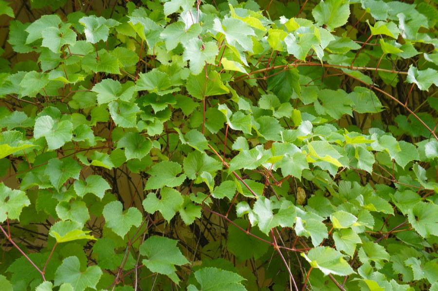 Амурский виноград вдоль стены загородного дома