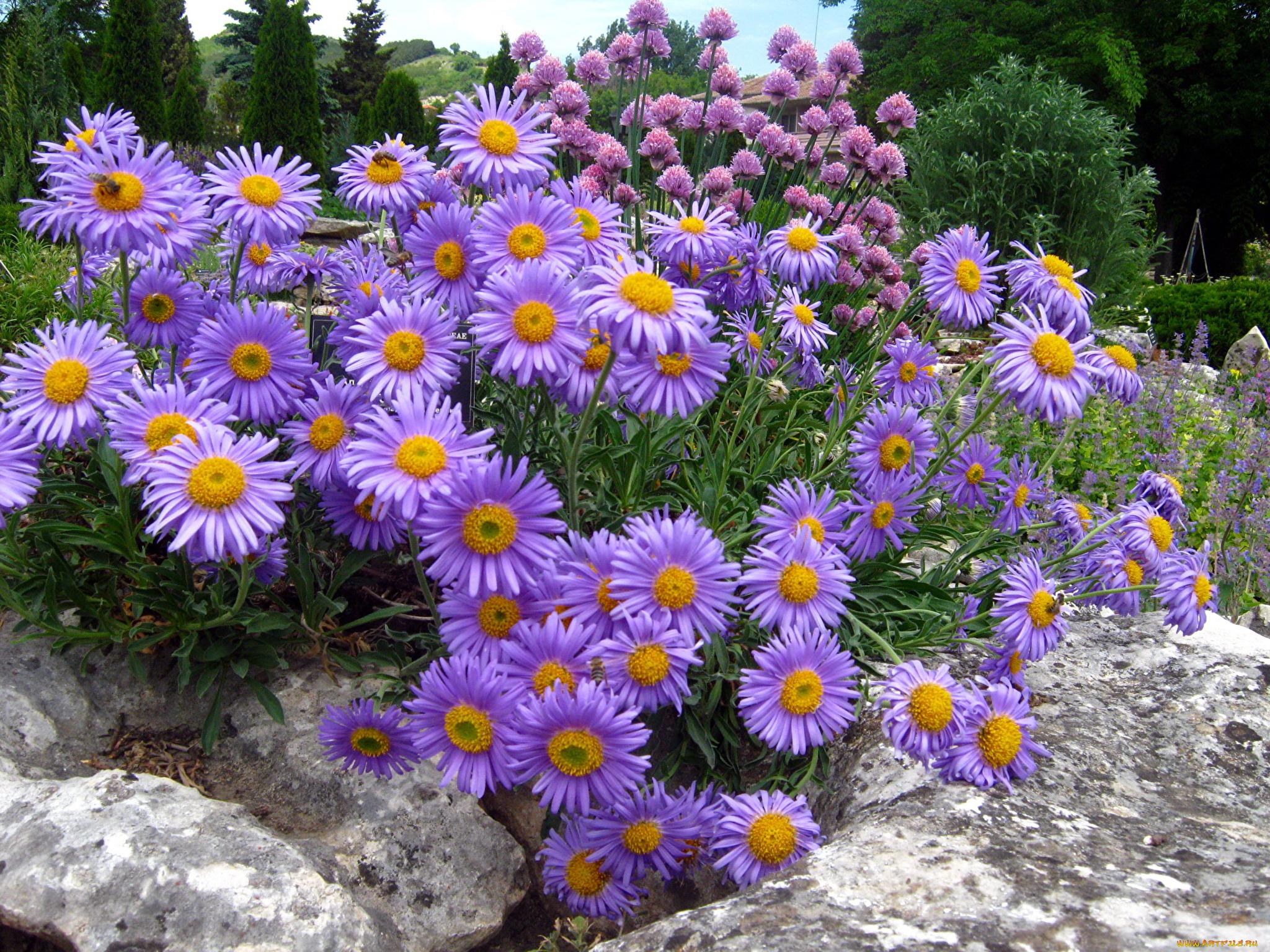цветы для сада многолетние