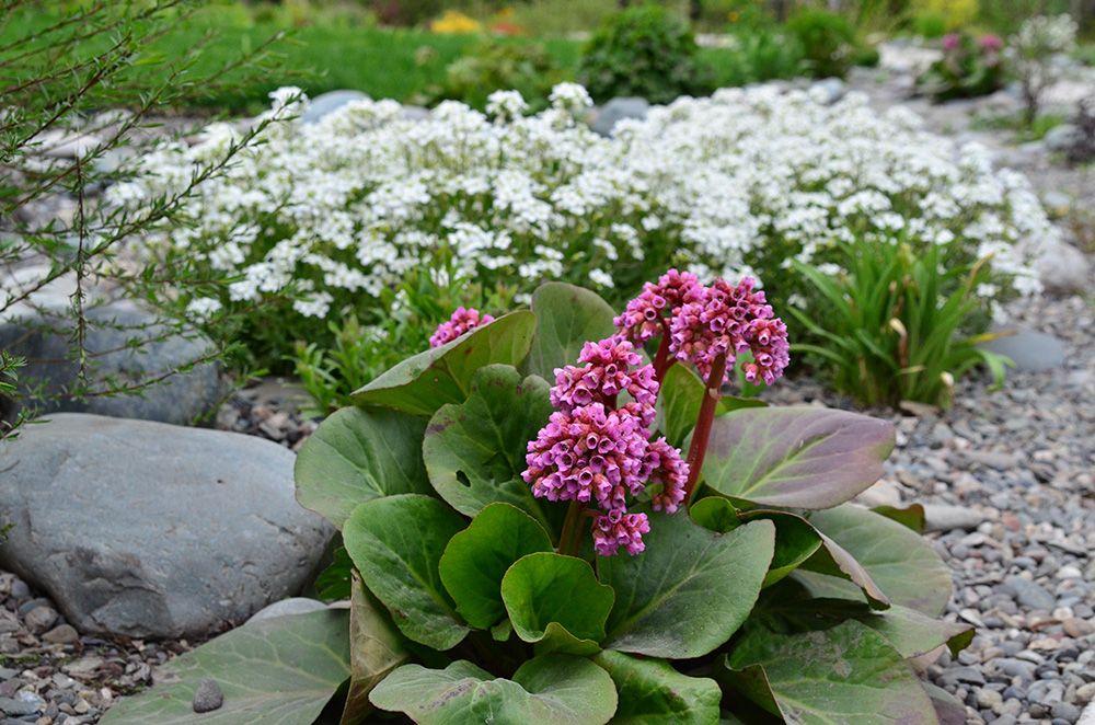 бадан в саду