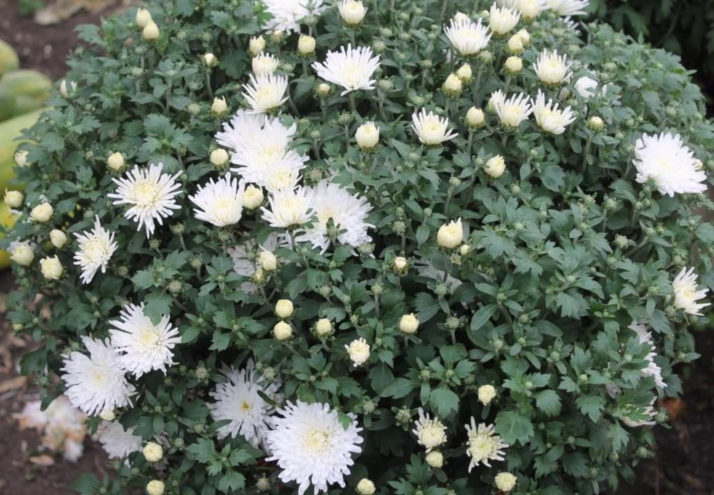 Начало цветения белой хризантемы на садовом участке