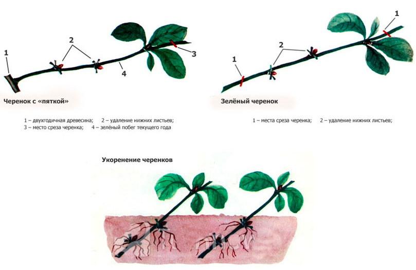 Схема размножения айвы летними черенками