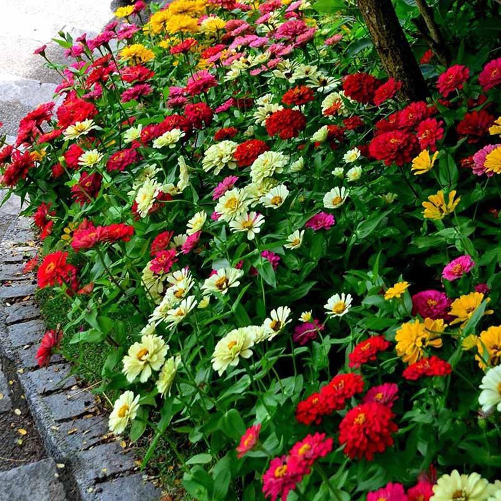 цинии в саду декор