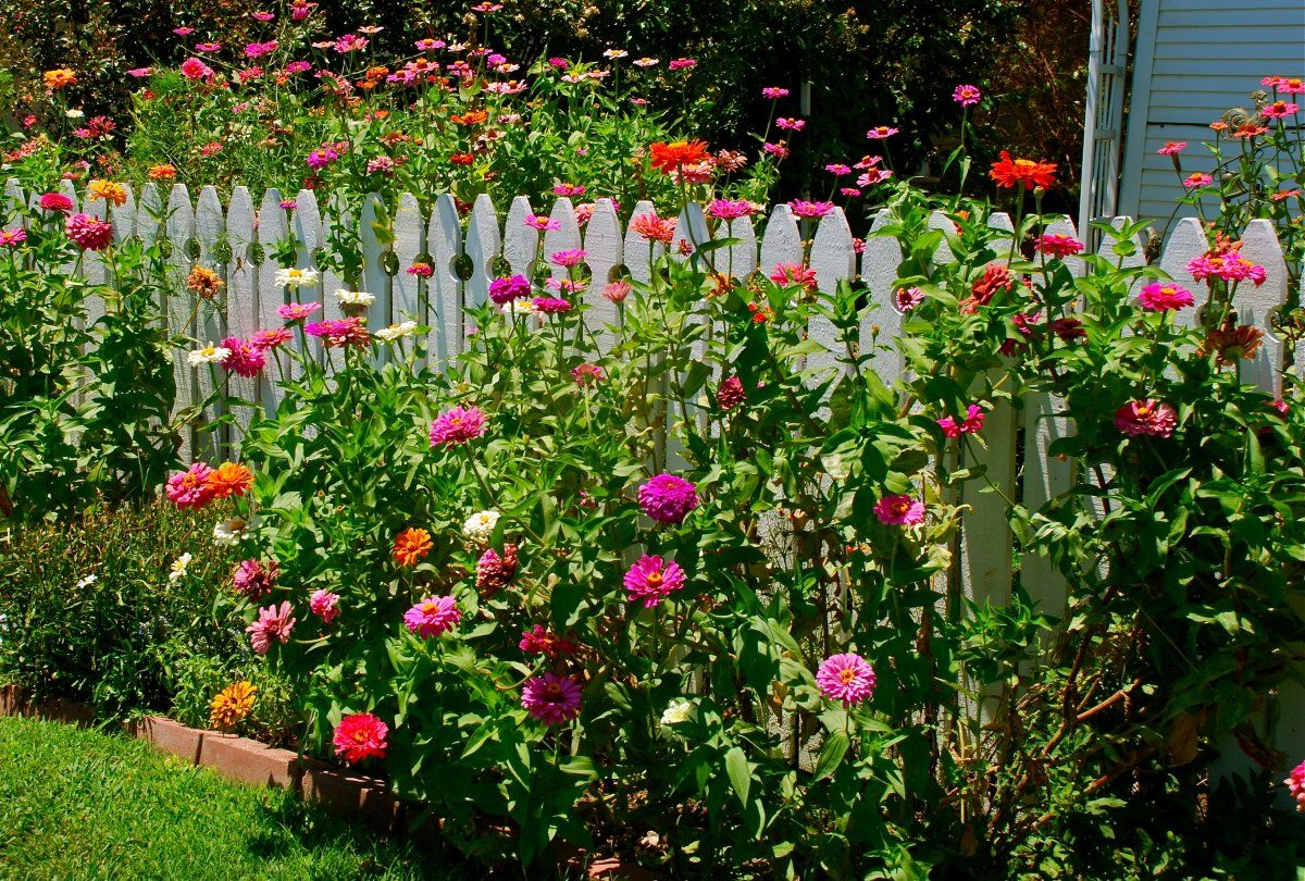 цинии в саду фото идеи