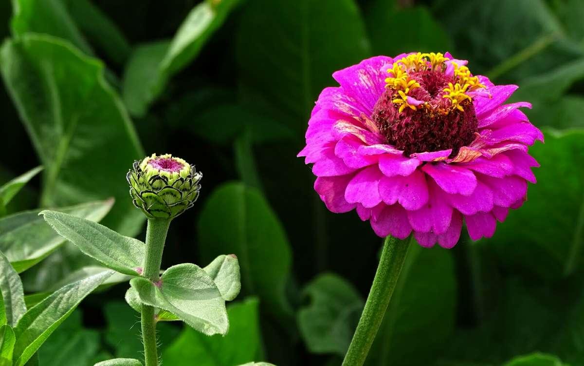 цинии в саду фото оформления