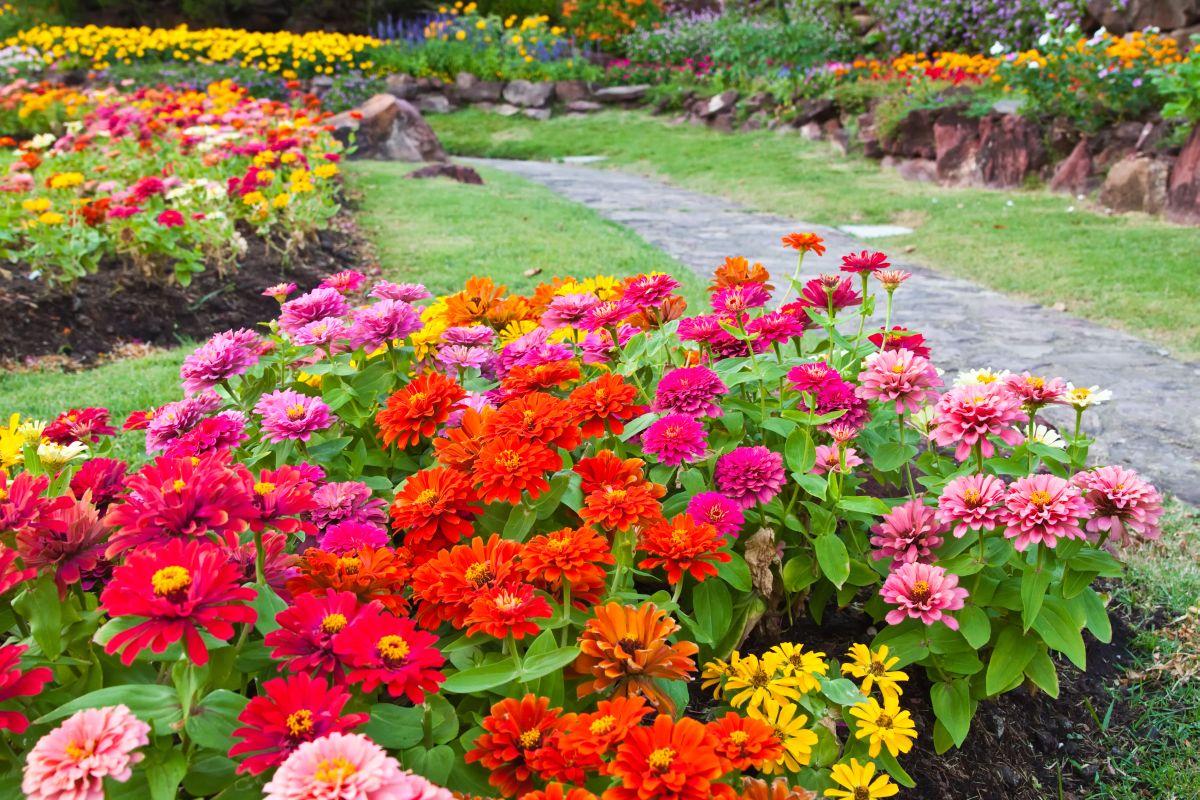 цинии в саду фото