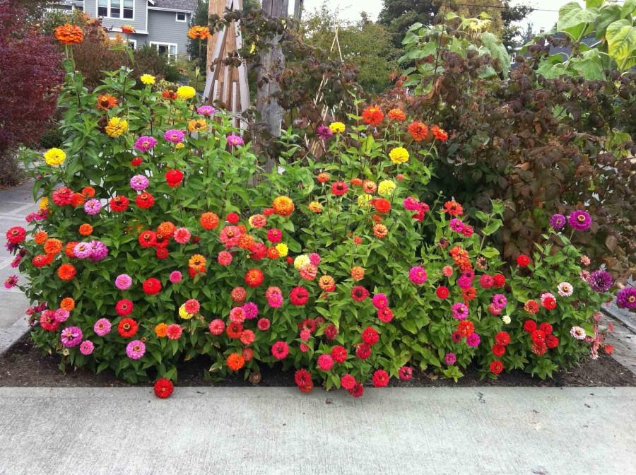 цинии в саду идеи фото