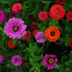 цинии в саду идеи оформления