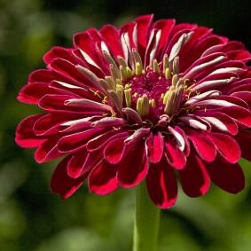 цинии в саду оформление