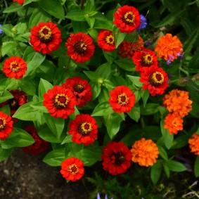 цинии в саду оформление фото