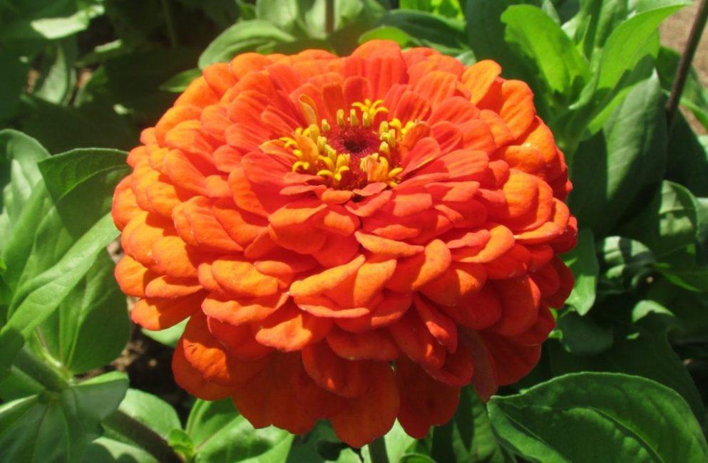 циния оранжевый король