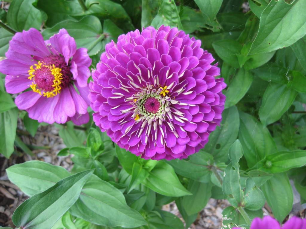 циния фиолетовая