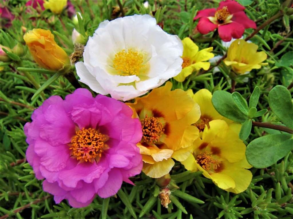 Разноцветные цветки портулака на дачном участке