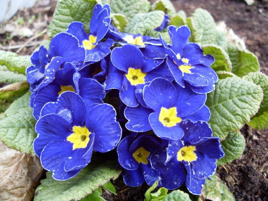 Сиренево-синие цветки на кустике многолетней примулы