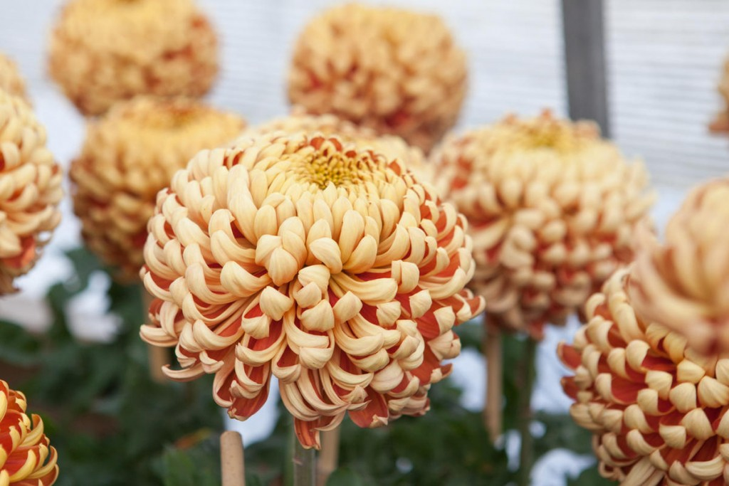 Махровый цветок гибридной хризантемы