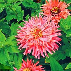 цветы цинии в саду фото декор