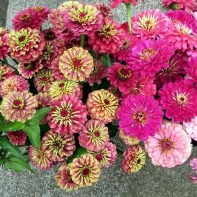 цветы цинии в саду идеи оформление