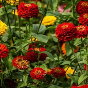 цветы цинии в саду дизайн фото