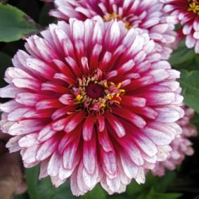 цветы цинии в саду фото дизайн