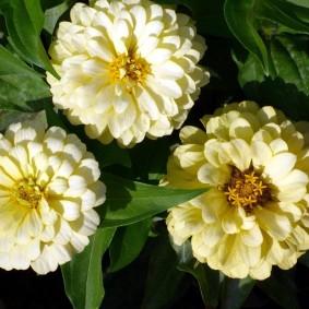 цветы цинии в саду фото дизайна