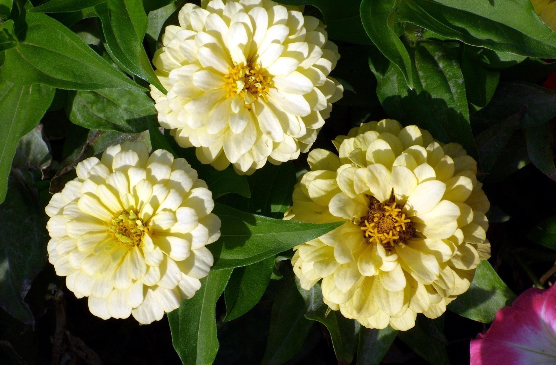 майоры цветы фото название теле переводе