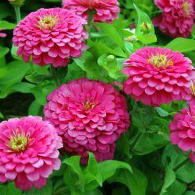 цветы цинии в саду идеи дизайн