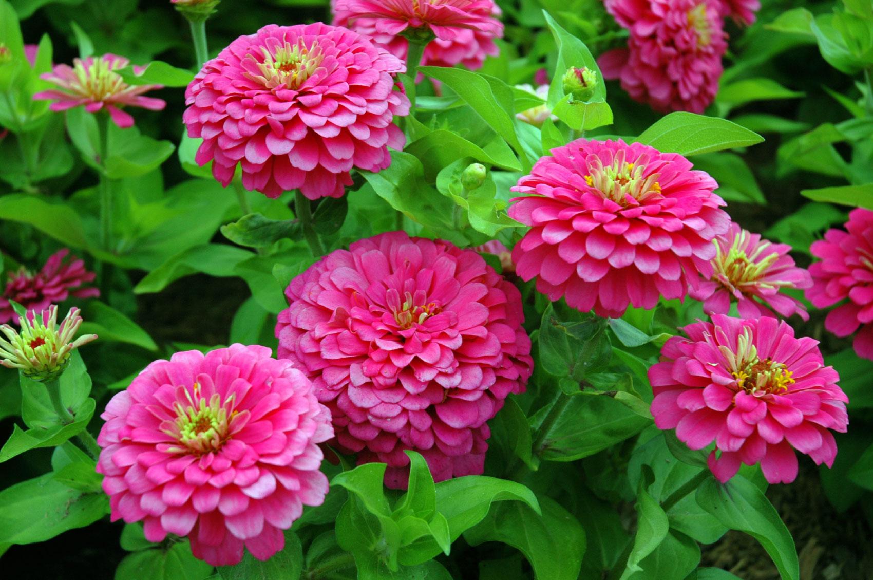 рассадить аукубу майоры цветы фото название данные анкеты