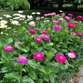 цветы цинии в саду идеи дизайна
