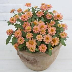 цветы цинии в саду декор