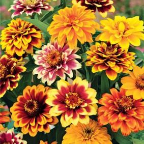 цветы цинии в саду декор фото