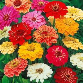 цветы цинии в саду фото декора