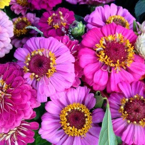 цветы цинии в саду фото видов
