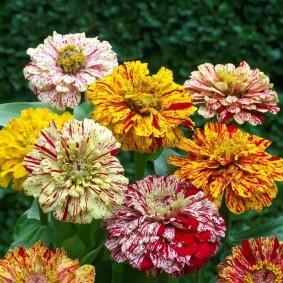цветы цинии в саду декор идеи